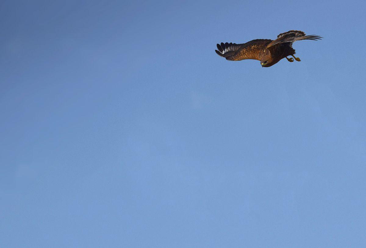 Jaisalmer raptor2.jpg