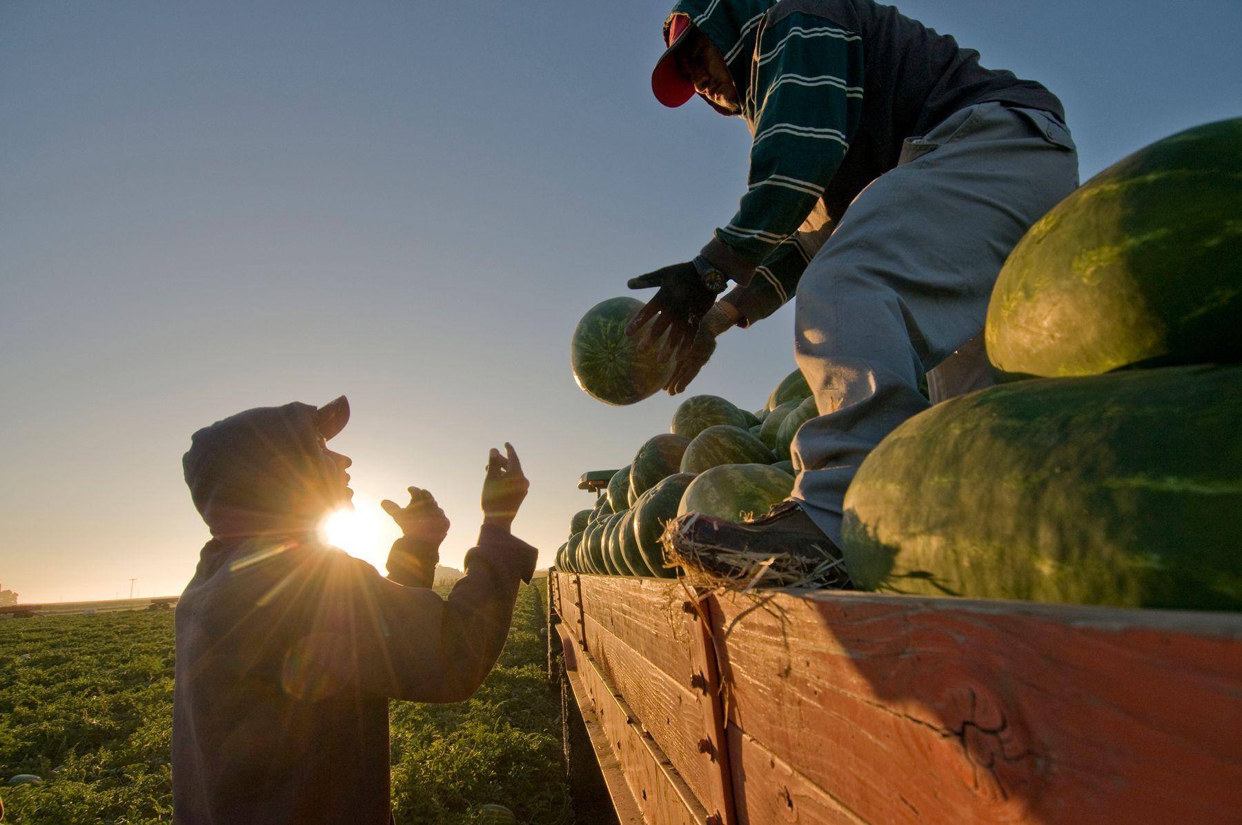 Watermelon Farm, Manteca, CA.