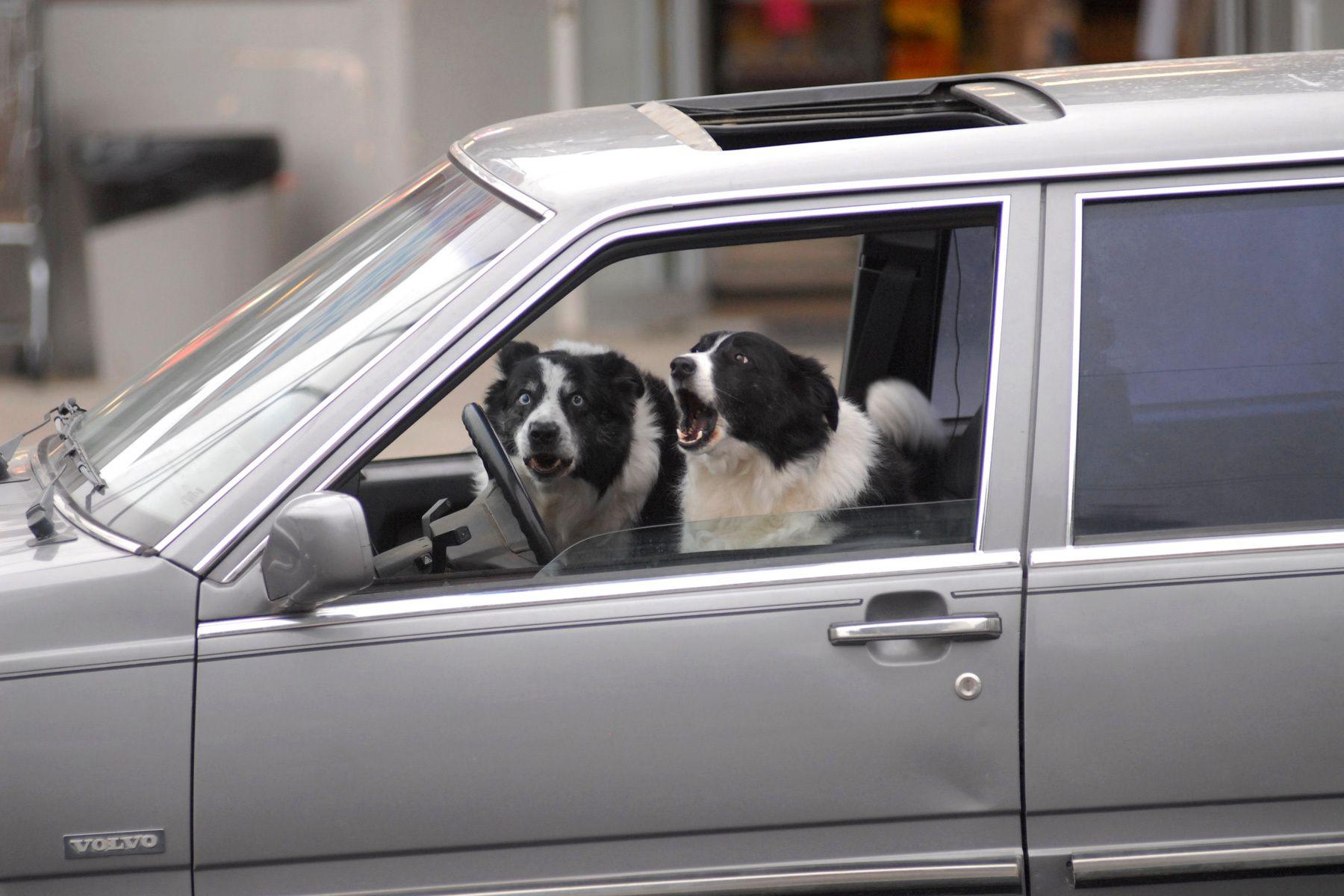 1web_when_dogs_drive_road_rage_1.jpg