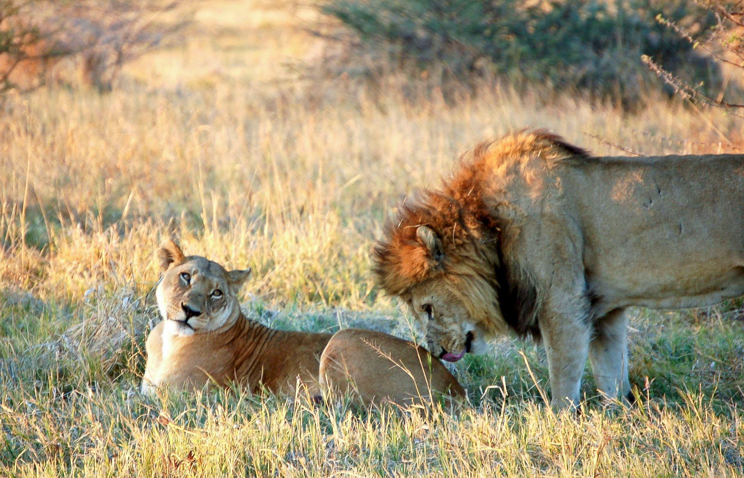 botswana_chobe_lions.jpg