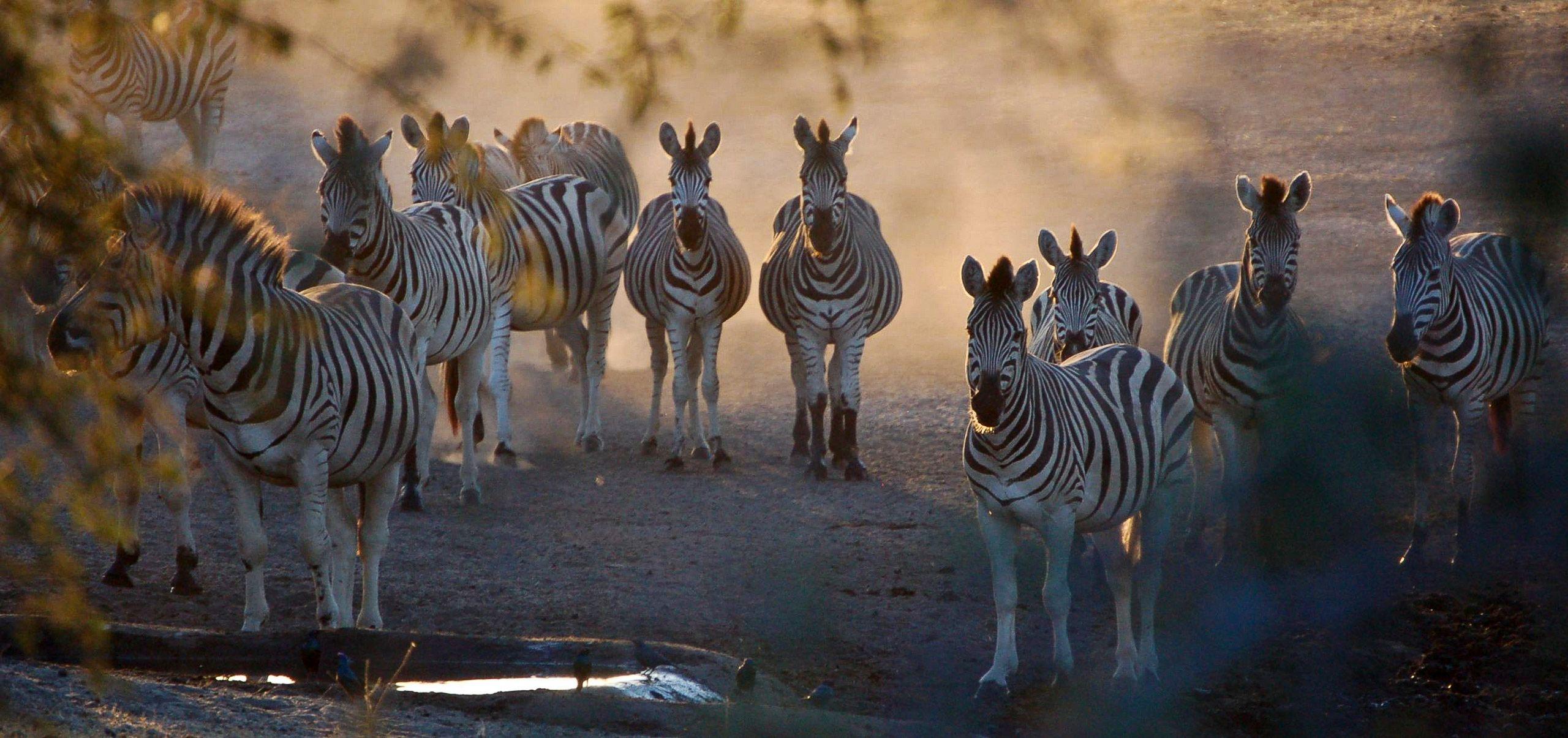 botswana_zebras_dusk_group.jpg