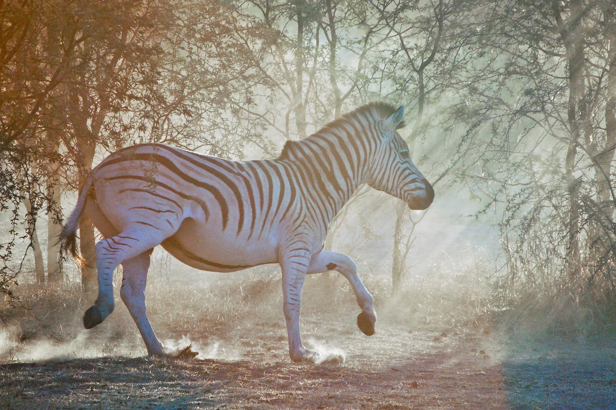 botswana_chobe_national_park_zebra_running.jpg
