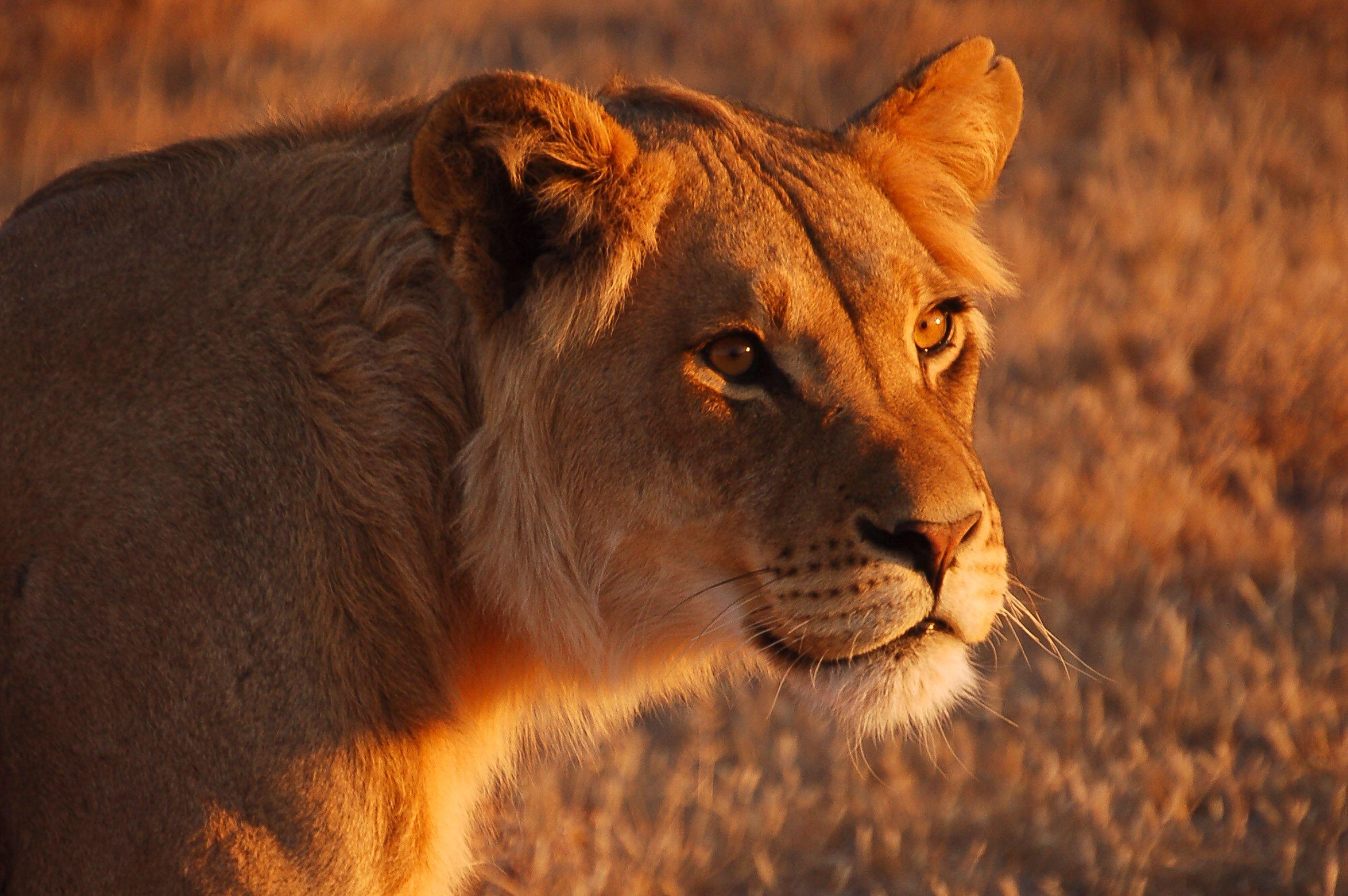 botswana_kalahari_desert_central_kalahari_lion.jpg