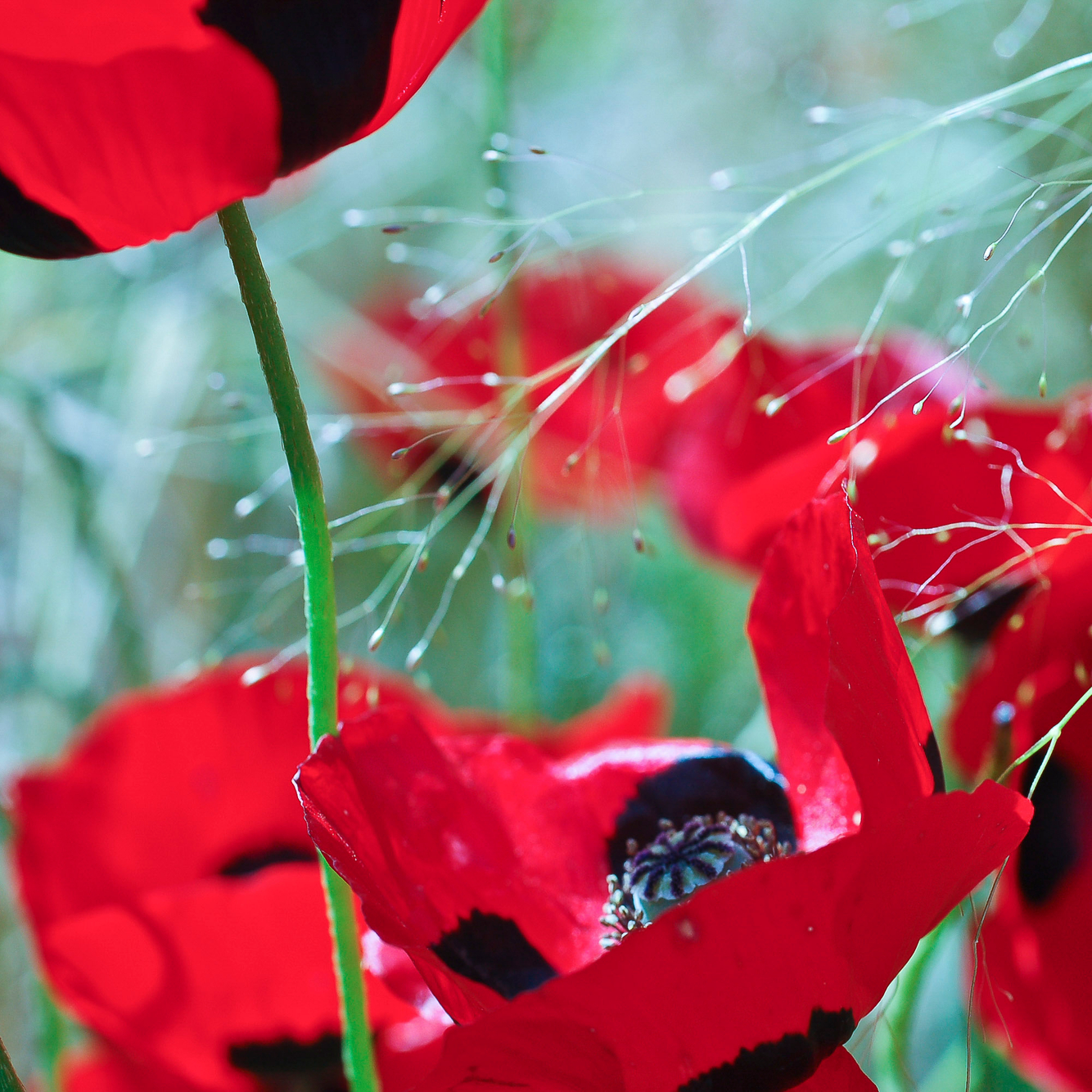 guildford_poppy_abstract.jpg