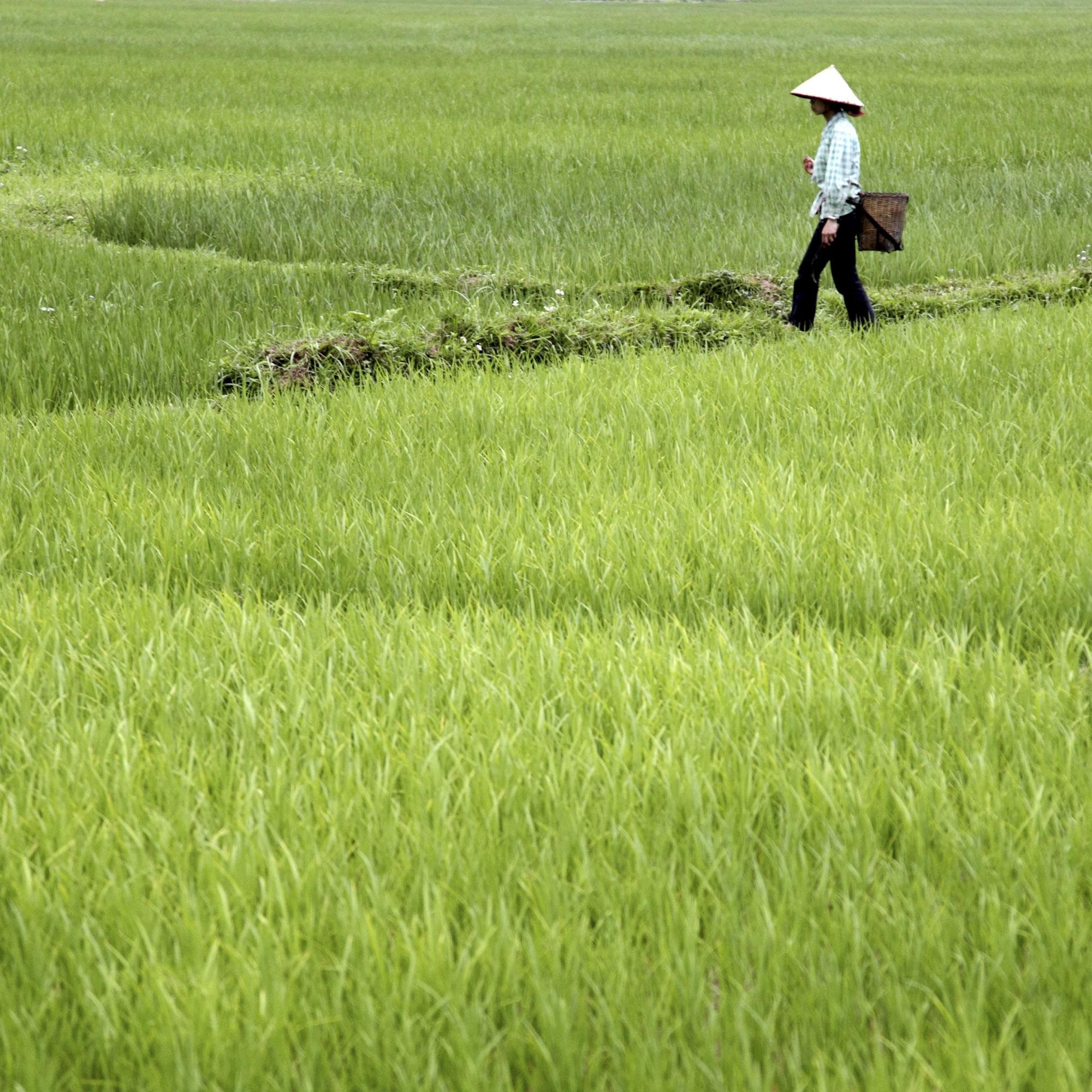 vietnam_mai_chau_rice_field.jpg