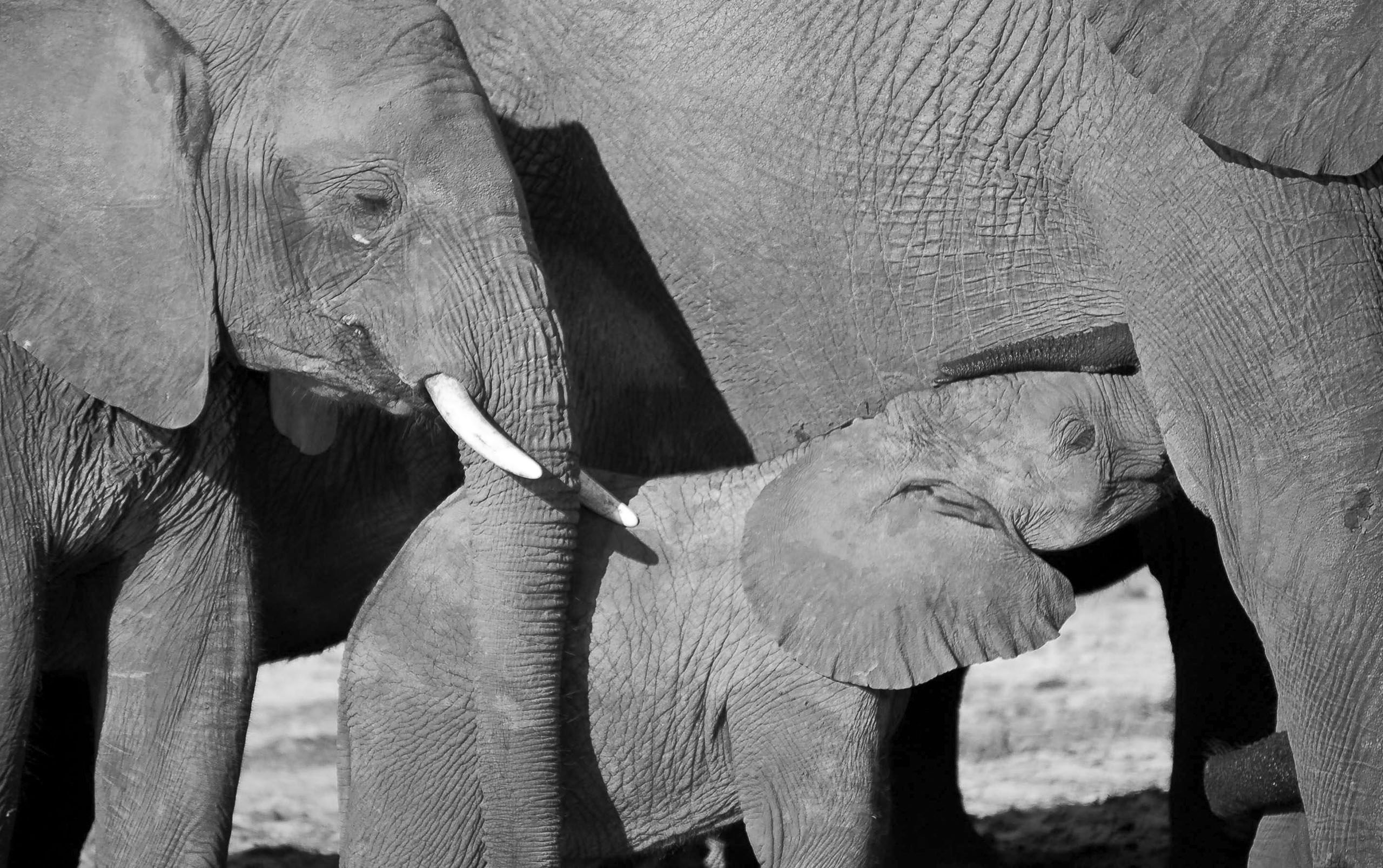 botswana_elephants_baby_feeding.jpg