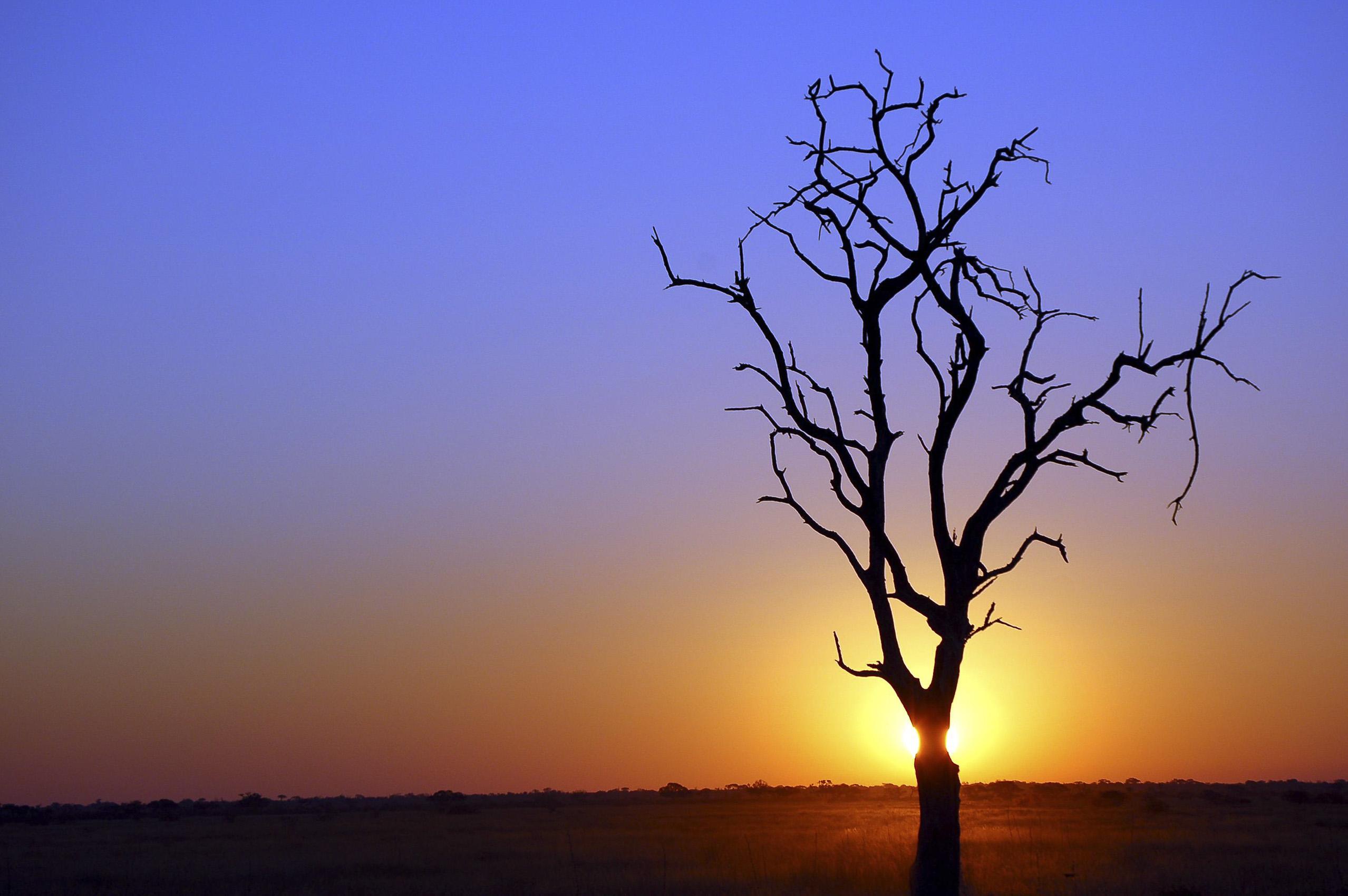 Botswana_kalahari_desert_tree.jpg