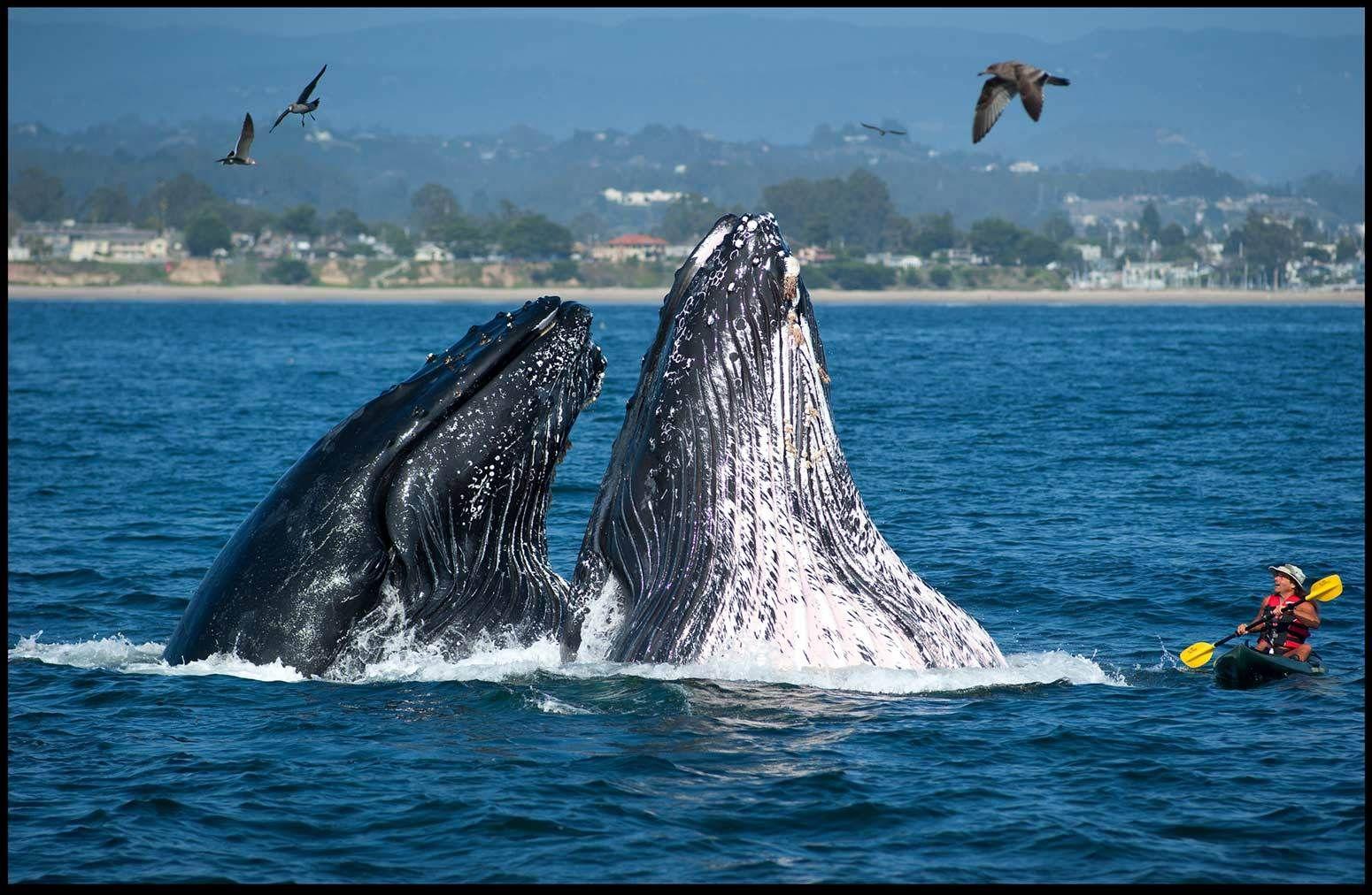1santa_cruz_whales_and_kayak_print11x_