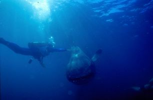 3_0_7_1megamouth_shark_06.jpg