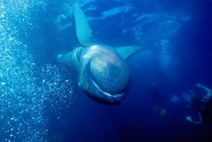 5_0_9_1megamouth_shark_20.jpg