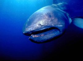 2_0_5_1megamouth_shark02.jpg