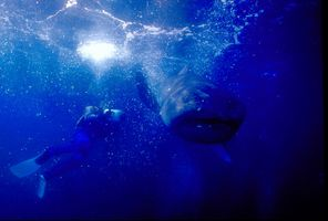 1_0_6_1megamouth_shark_01.jpg