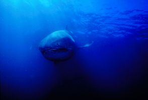 4_0_8_1megamouth_shark_14.jpg