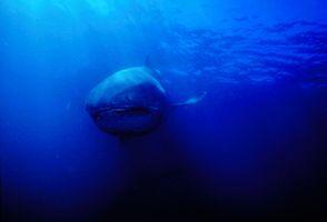 4_0_8_1megamouth_shark_14.jpg