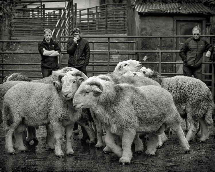 Aged Herdwick Tups, Broughton UK, 2017