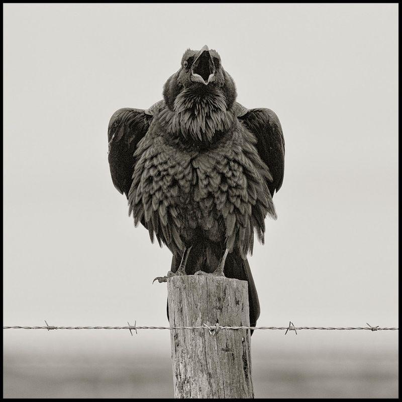 1_Raven_Pt.-Reyes-CA-2012.jpg