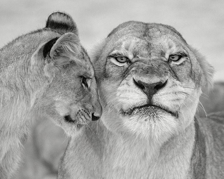 Lionness & Cub, Ngala, South Africa 2017
