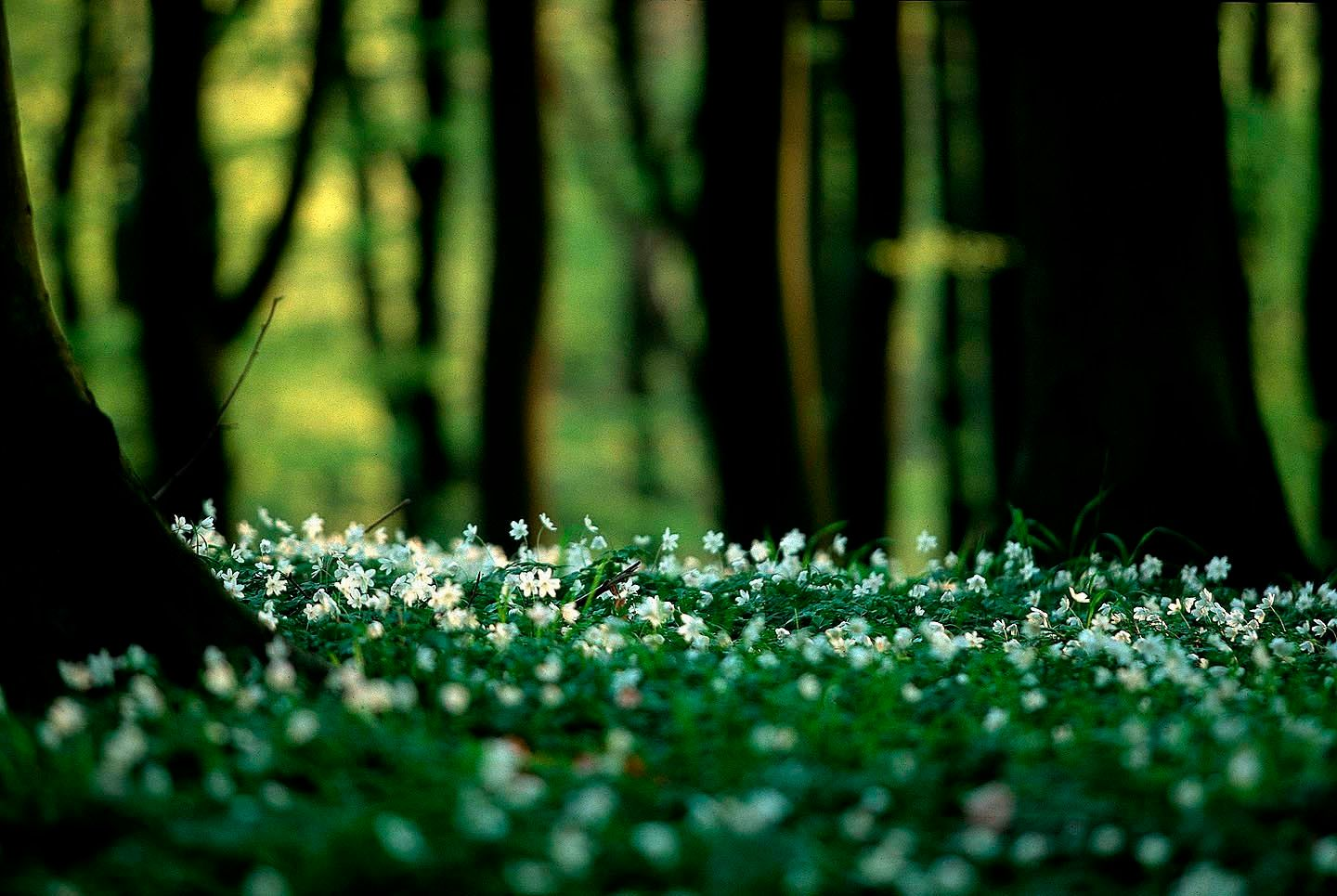 102_anemone_field_on_the_forest