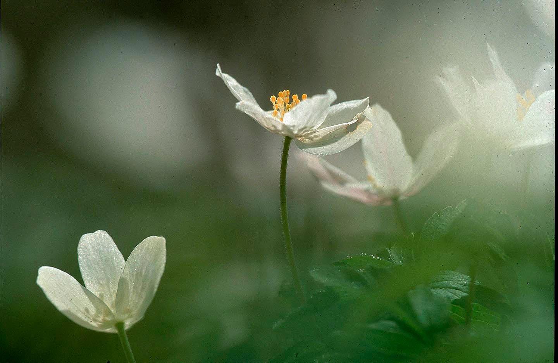 103_anemones