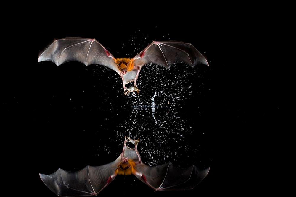 Tropical Bats of Barro Colorado Island
