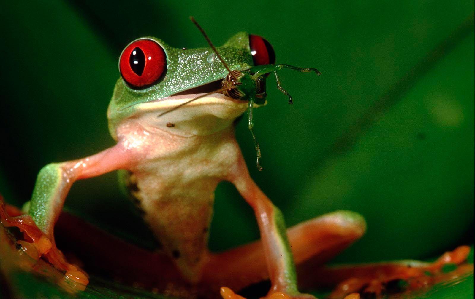 107_frog_eating_grashopper
