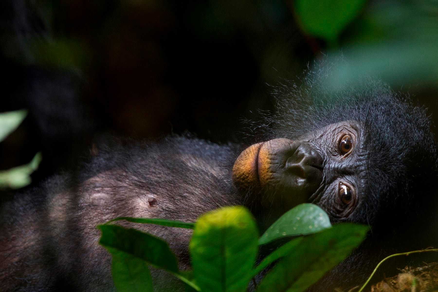 Bonobos - our unknown cousins