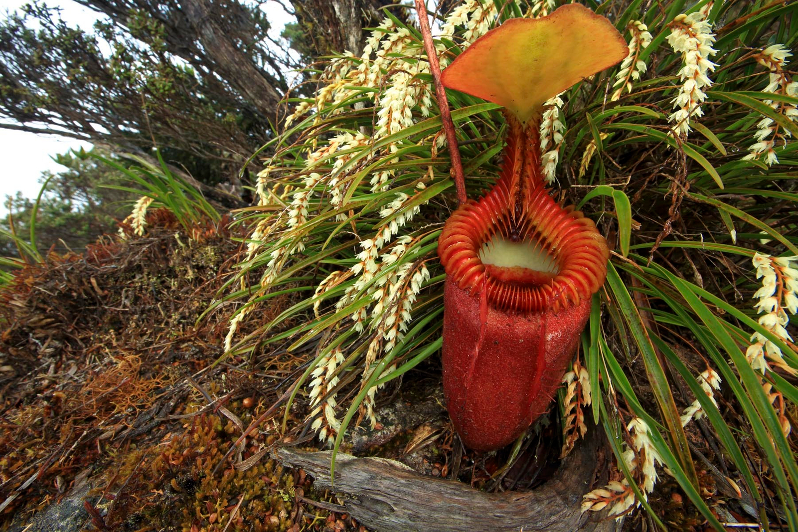 Vegetables with an Appetite – Carnivorous Plants of the world