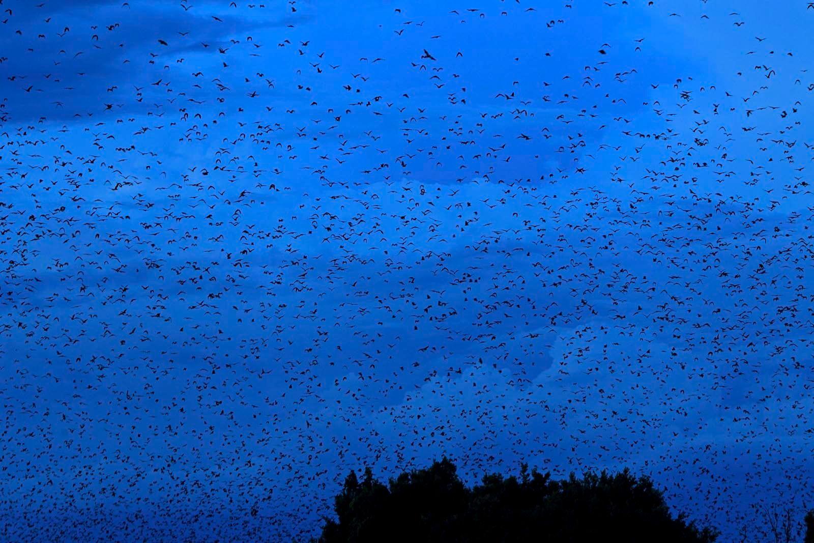Tracking fruit bats