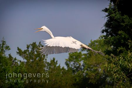 Great Egret • Pinckney Island 463 • South Carolina