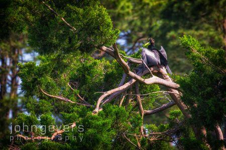 Anhinga • Pinckney Nature Refuge 401 • South Carolina