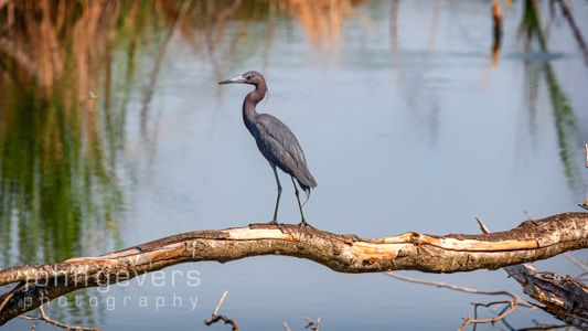 Little Blue Heron • Pinckney Island 494 • South Carolina