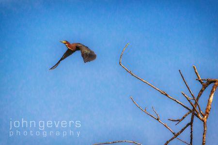Green Heron • Pinckney Island 440 • South Carolina