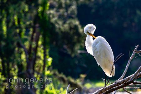 Great Egret • Pinckney Island 193 • South Carolina