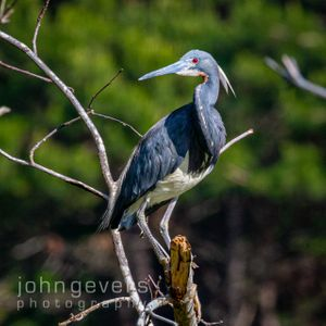 Tricolored Heron • Pinckney Island 243 • South Carolina