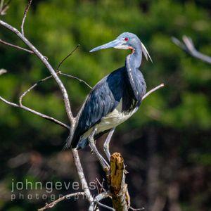 Tricolored Heron • Pinckney Island 243 • South Carolina