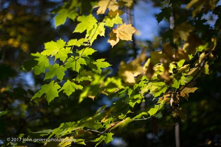 Maple Light • Vandolah Acres Preserve • Fort Wayne, Indiana