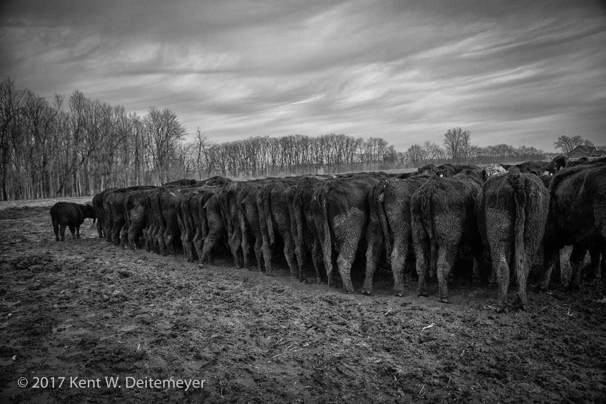Angus cattle feeding.