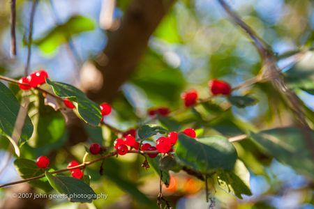 Berries 1 • Vandolah Acres Preserve • Fort Wayne, Indiana