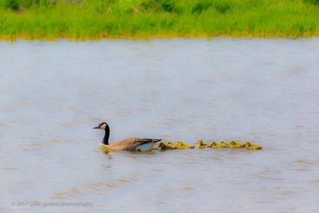 Geese Brood • Eagle Marsh • Fort Wayne, Indiana