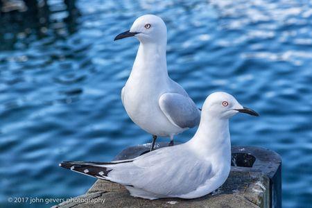 Gulls • Lake Wakatipu