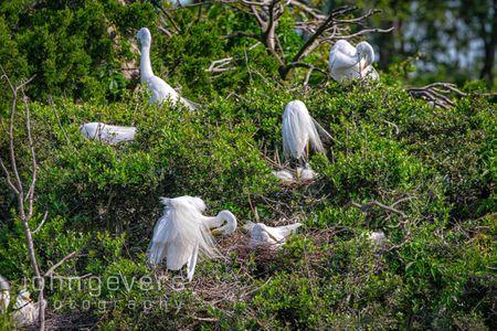 Great Egret Rookery • Pinckney Nature Refuge 398 • South Carolina