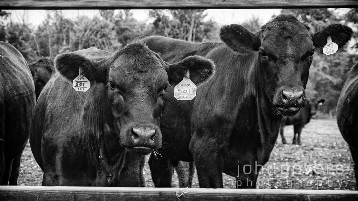 Wood Farms Angus  •  Fort Wayne, Indiana