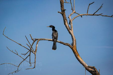 Anhinga • Pinckney Island 403 • South Carolina
