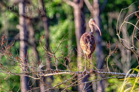 White Ibis, juvenile • Pinckney Island 50 • South Carolina