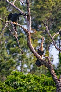 Anhinga • Pinckney Nature Refuge 385-2 • South Carolina