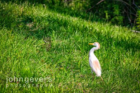 Cattle Egret • Pinckney Island 237 • South Carolina
