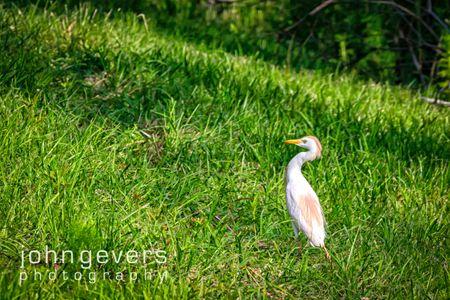 Cattle Egret • Pinckney Island 237 • South Carolina