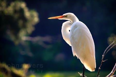 Great Egret • Pinckney Island 173 • South Carolina