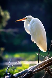 Great Egret • Pinckney Island 178 • South Carolina