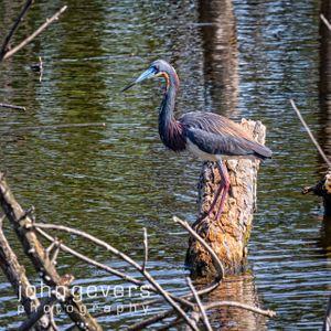 Tricolored Heron • Pinckney Island 449 • South Carolina